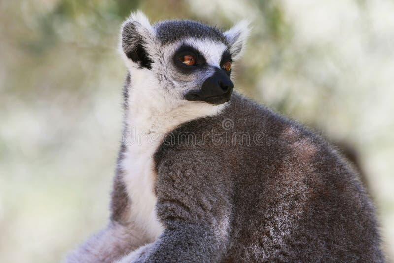 обезьяна lemur стоковая фотография