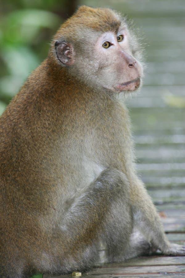 обезьяна macaque стоковое фото