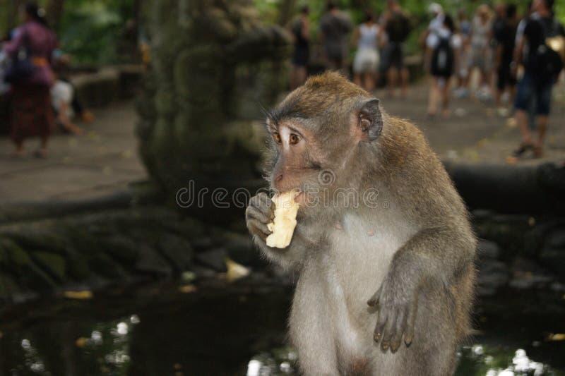 Обезьяна Makak в виске Бали, Индонезии стоковые изображения rf