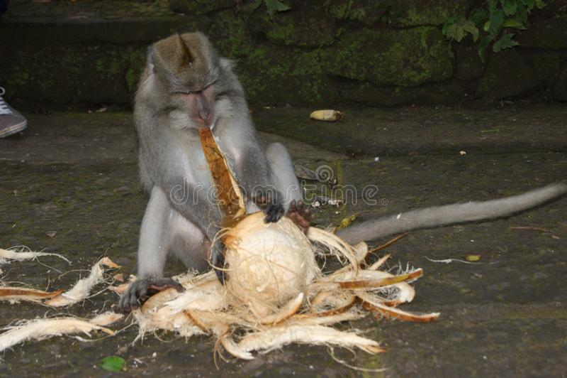 Обезьяна Makak в виске Бали, Индонезии стоковые фото