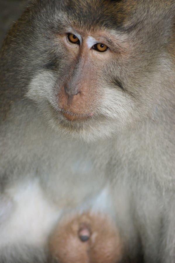 Обезьяна Makak в виске Бали, Индонезии стоковые фотографии rf