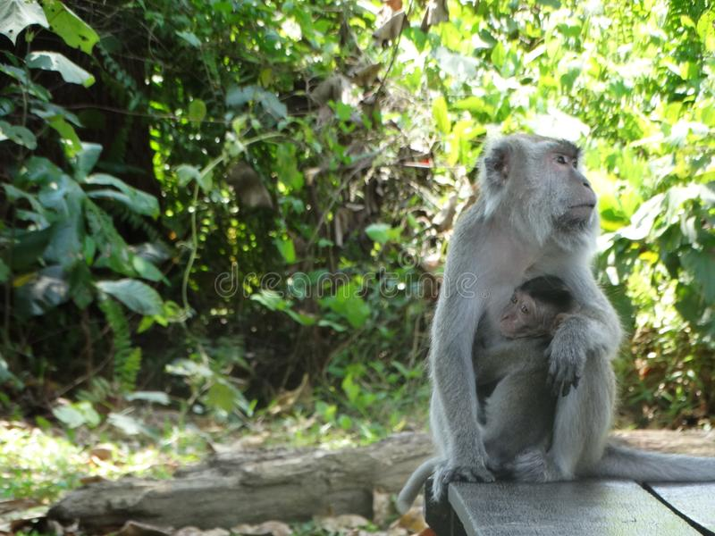 Обезьяна Makak в дождевом лесе Борнео стоковые изображения