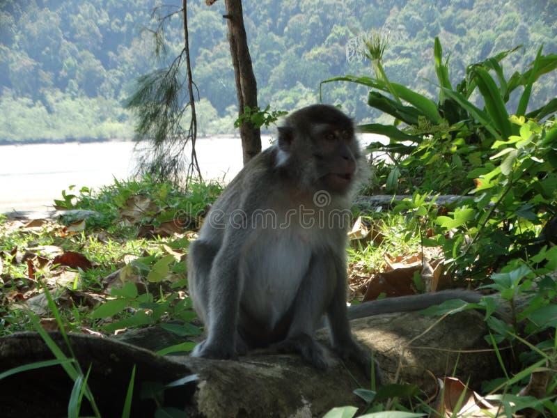 Обезьяна Makak в дождевом лесе Борнео стоковая фотография