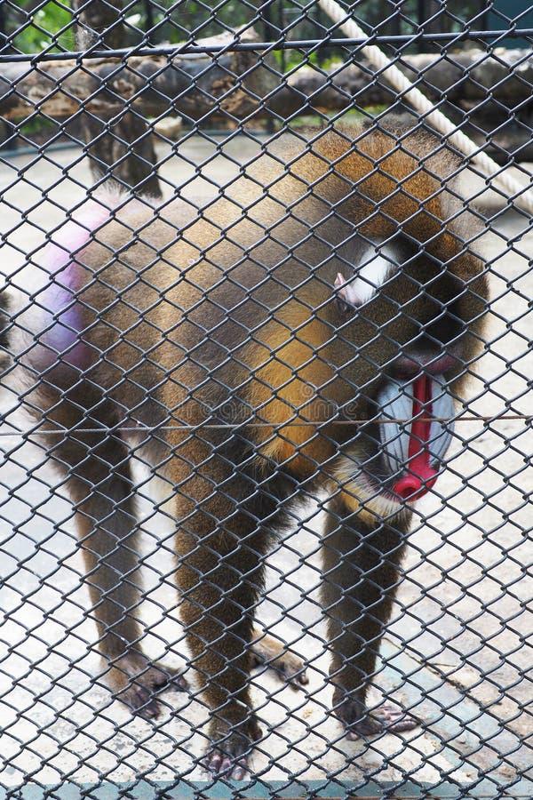 Обезьяна Mandrill в клетке на зоопарке стоковое изображение rf