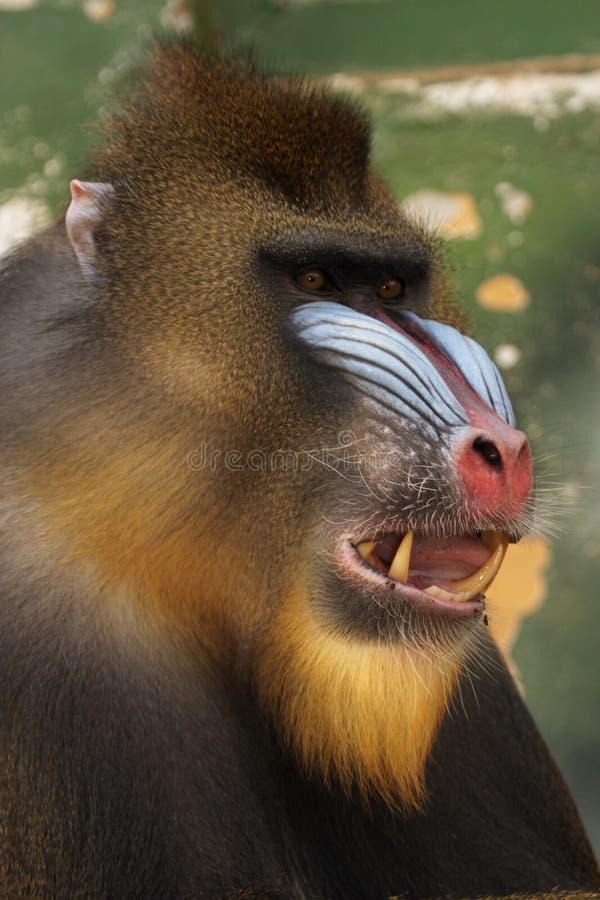 обезьяна mandrill стоковое фото