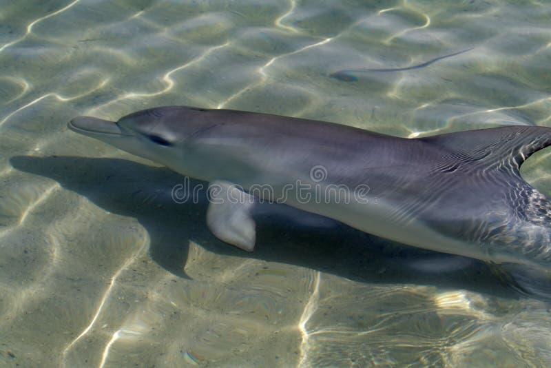 обезьяна mia дельфина бутылки залива обнюхала акулу одичалую стоковое изображение rf