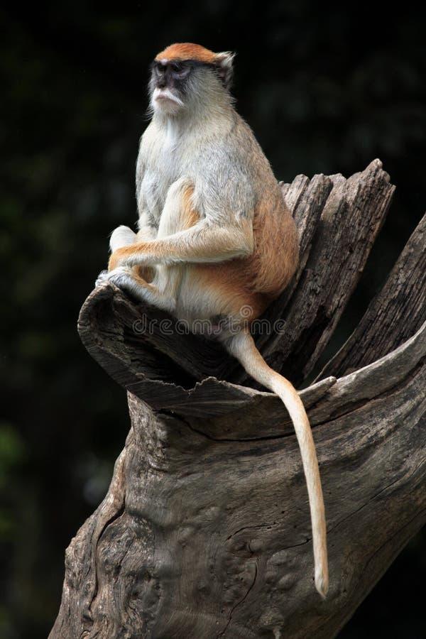 Обезьяна Patas (patas Erythrocebus) стоковые фото