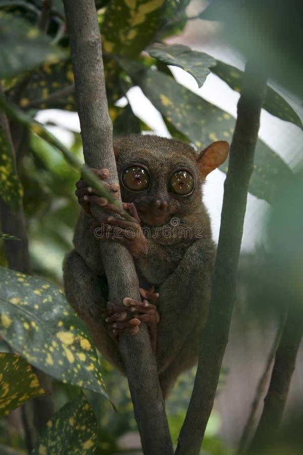 обезьяна philippines джунглей bohol более tarsier стоковое изображение