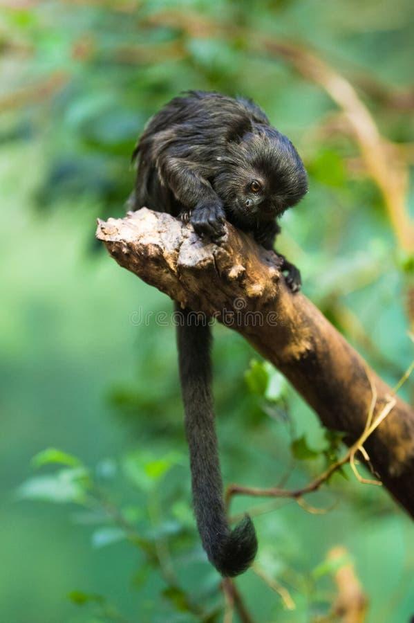 обезьяна s goeldi стоковое изображение rf
