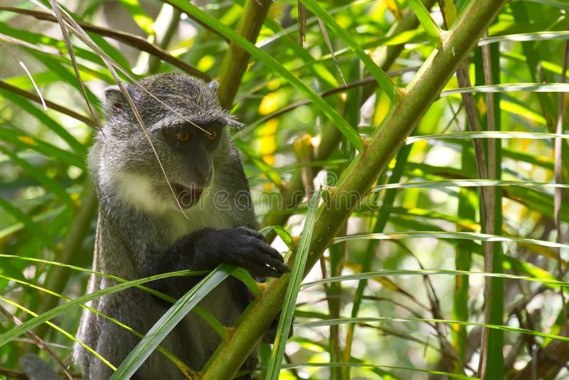 Обезьяна Sykes в лесе Jozani, Занзибаре, Танзании стоковые фотографии rf