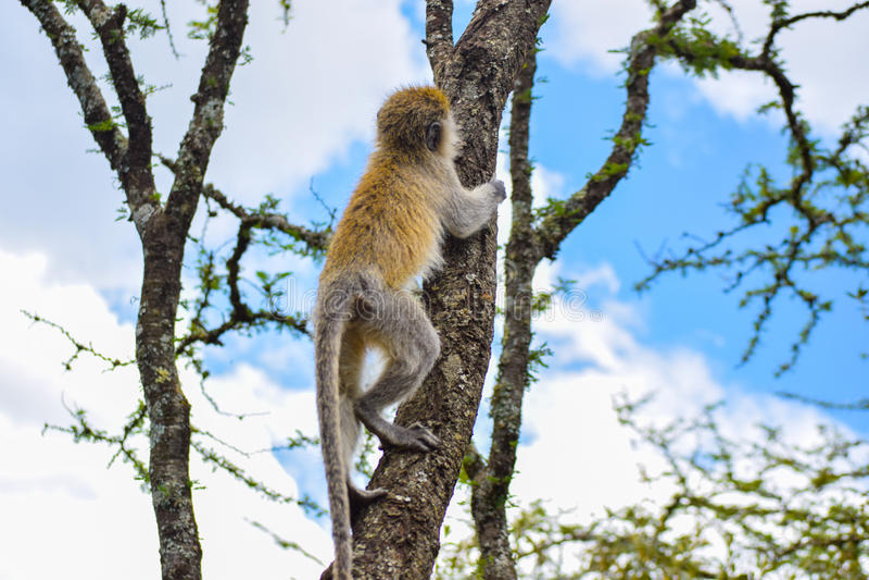 Обезьяна Vervet взбираясь дерево стоковое фото rf