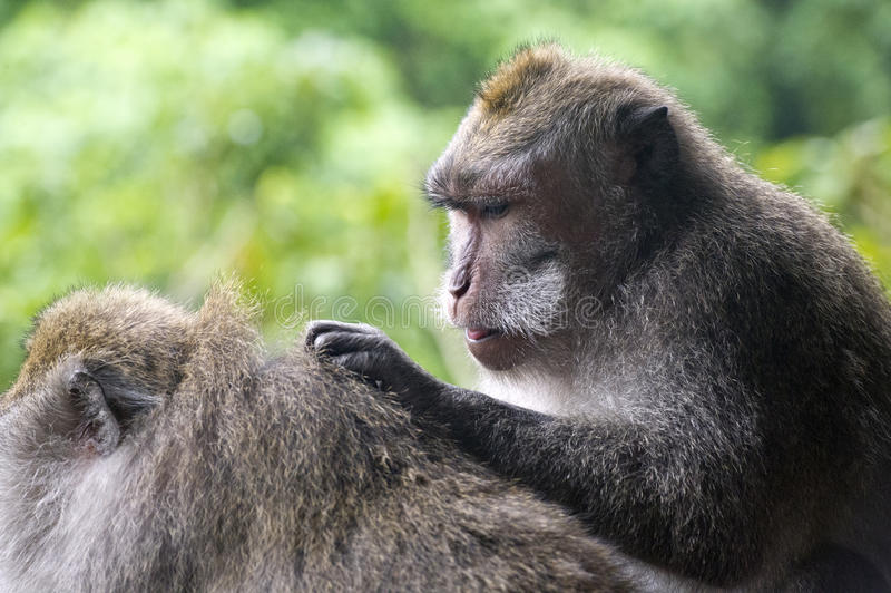 2 обезьяны в лесе в Бали стоковые изображения rf