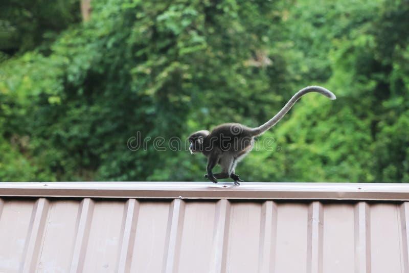Обезьяны лист скачут на крышу, Dusky вид Langur стоковая фотография rf
