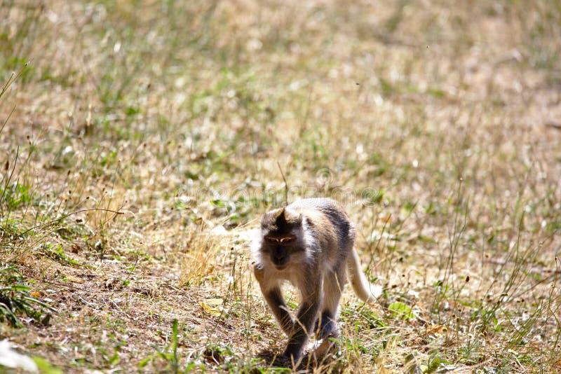 Обезьяны: макака идя на коричневую, травянистую землю стоковая фотография