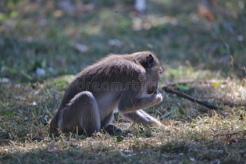 Обезьяны: молодое усаживание макаки, есть стоковые фото