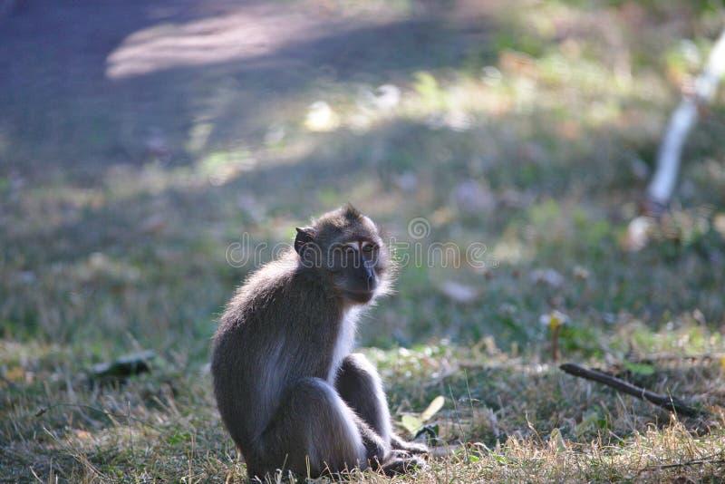 Обезьяны: молодое усаживание макаки, наблюдая стоковое фото