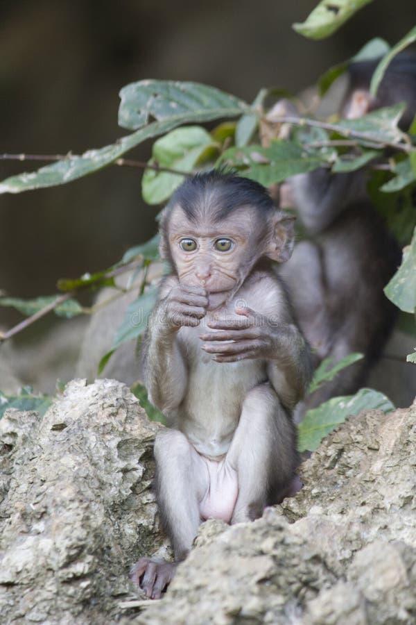 Обезьяны младенца стоковое изображение