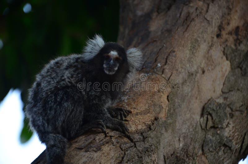 Обезьяны на дереве имея имя завтрака научное: Callithrix стоковые изображения