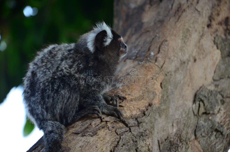 Обезьяны на дереве имея имя завтрака научное: Callithrix стоковая фотография