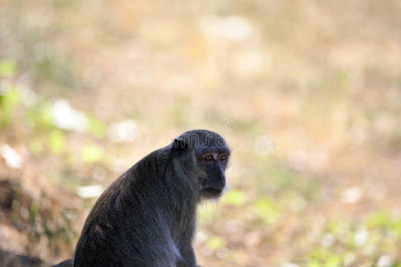 Обезьяны: старое усаживание макаки, наблюдая стоковые фото