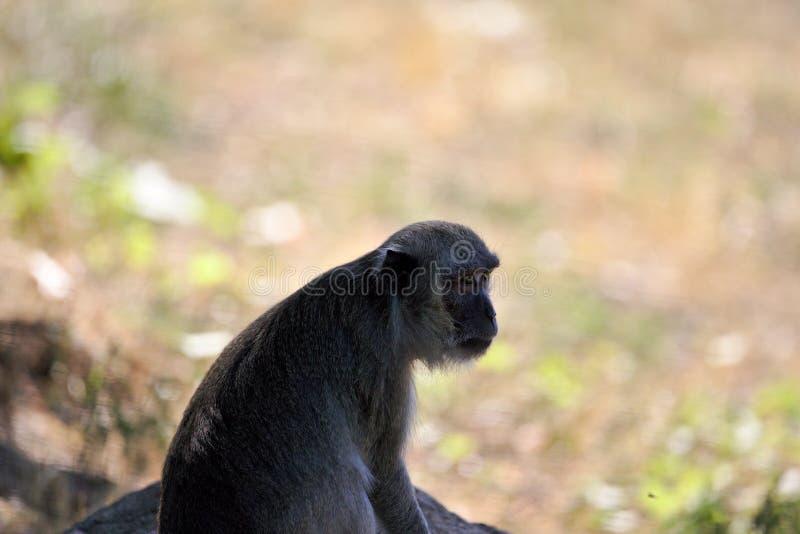 Обезьяны: старое усаживание макаки, наблюдая стоковое фото