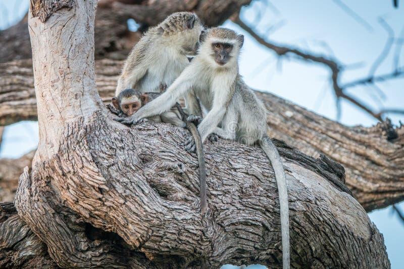 2 обезьяны Vervet отдыхая на дереве стоковое фото rf