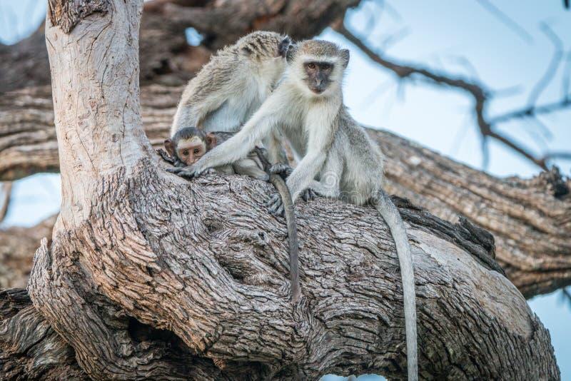 2 обезьяны Vervet отдыхая на дереве стоковое изображение rf