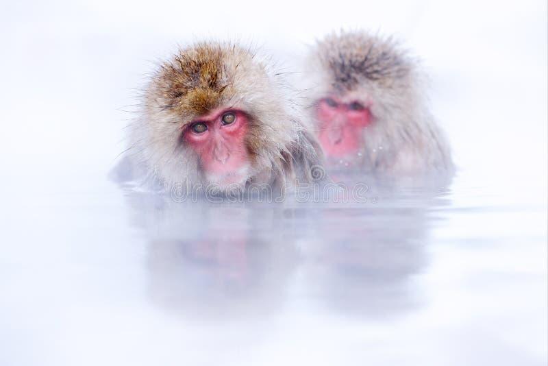 Обезьянья ванна Японская макака, Macaca fuscata, красное лицо портрет в холодной воде с туманом, животное в естественной среде об стоковое фото