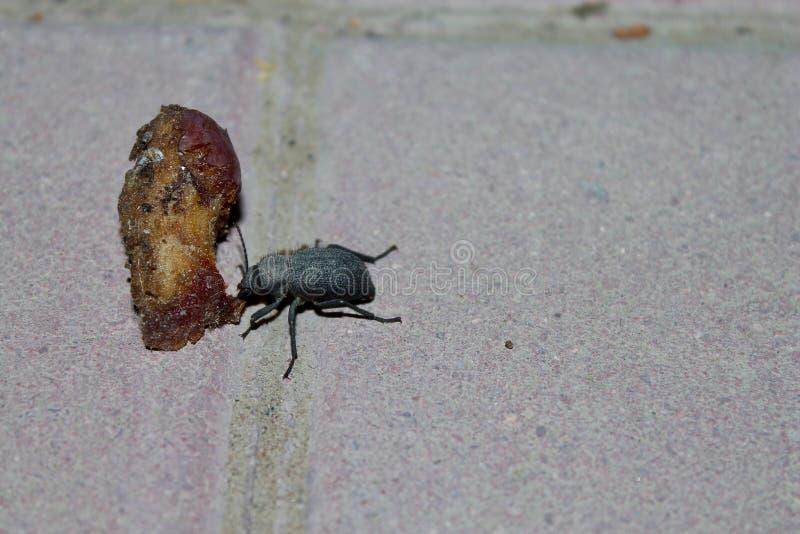 Обедающий жука стоковая фотография rf