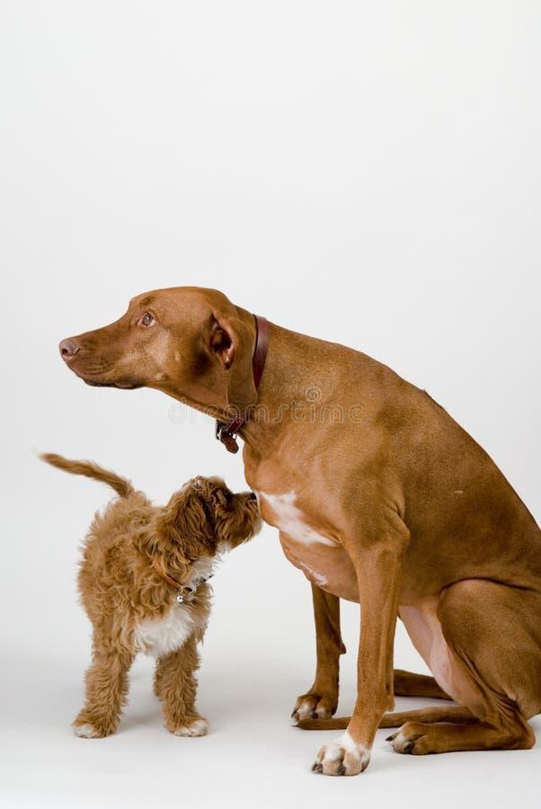 обе собаки смотря пути стоковые фото