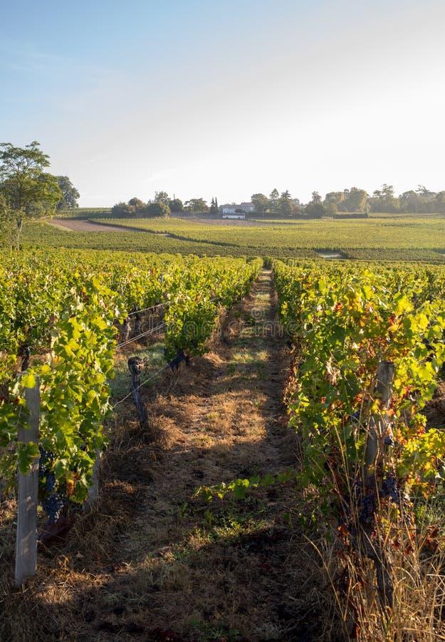 Обжаривать красный Мерло виноград на рядах винограда на винограднике перед урожаем вина в Сен-Эмилион стоковые изображения