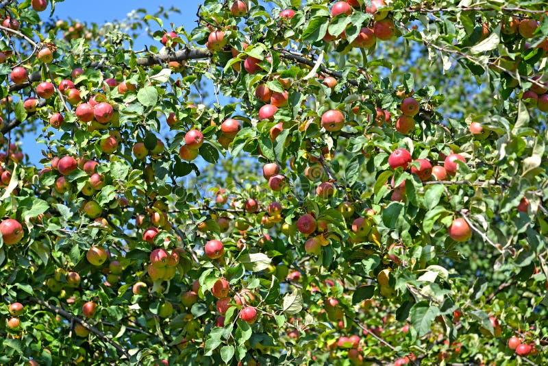 Обильный сбор яблок на domestica яблони дерева стоковое фото