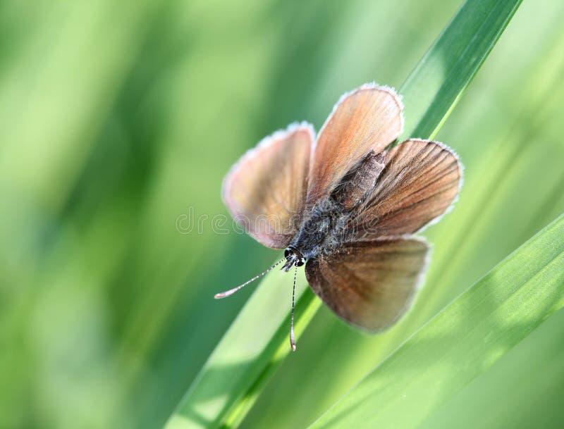 обитый серебр plebejus бабочки argus голубой стоковое изображение rf