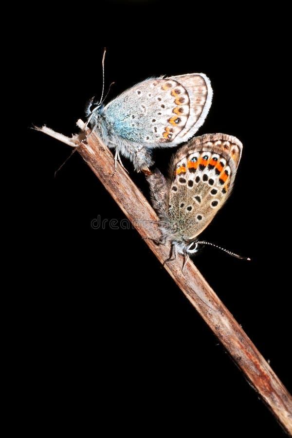 обитый серебр plebejus argus голубой стоковые изображения rf