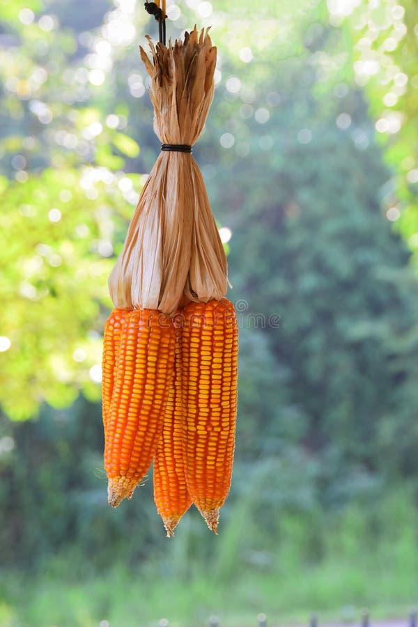 Обильный в кукурузных полях отразите солнечный свет , Выразить концепцию качества почвы, удобрение, или семя мозоли лучше стоковая фотография rf