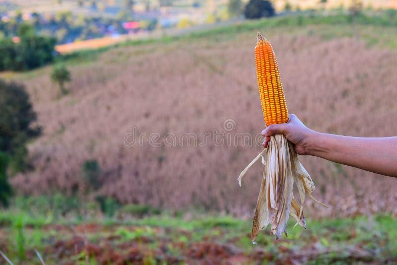 Обильный в кукурузных полях отразите солнечный свет , Выразить концепцию качества почвы, удобрение, или семя мозоли лучше стоковые фото