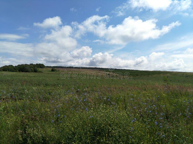 Облачное небо над лугом, зацветая голубым цикорием, ландшафтом лета сельской местности, ширью, космосом и перспективой стоковая фотография rf