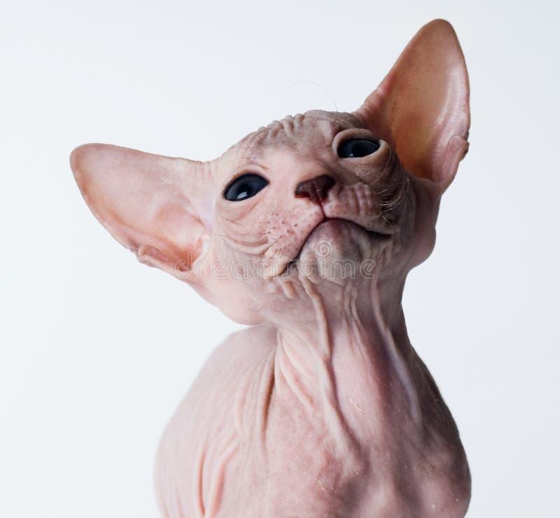 облыселый близкий котенок вверх стоковые фото