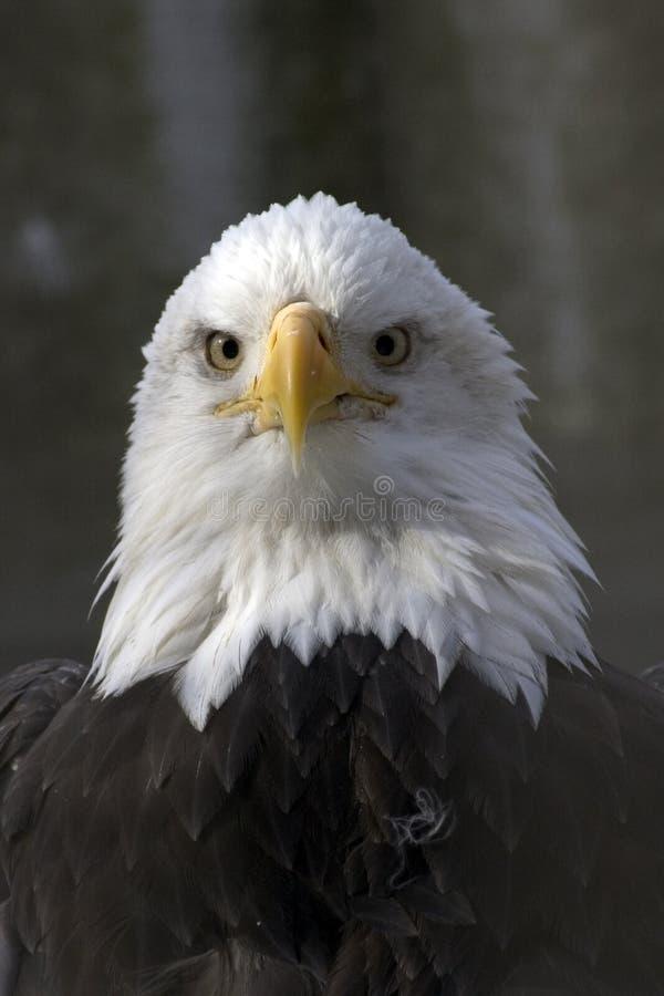 облыселый орел стоковая фотография rf