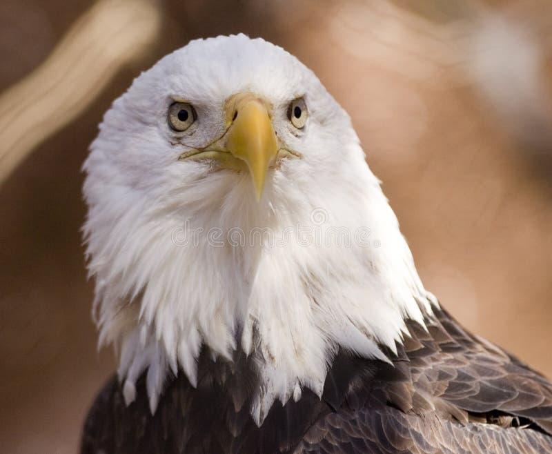 облыселый плененный портрет орла стоковые изображения rf