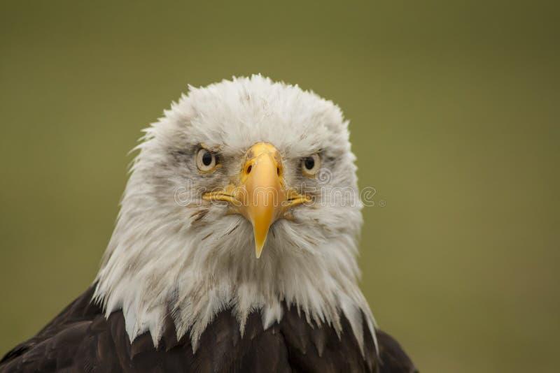 облыселый prey орла птицы Leucocephalus Haliaeetus стоковые фотографии rf