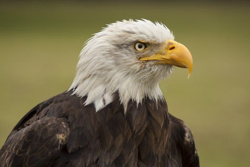 облыселый prey орла птицы Leucocephalus Haliaeetus стоковое изображение