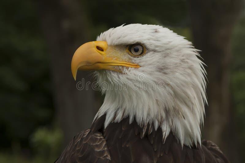 облыселый prey орла птицы Leucocephalus Haliaeetus стоковые изображения