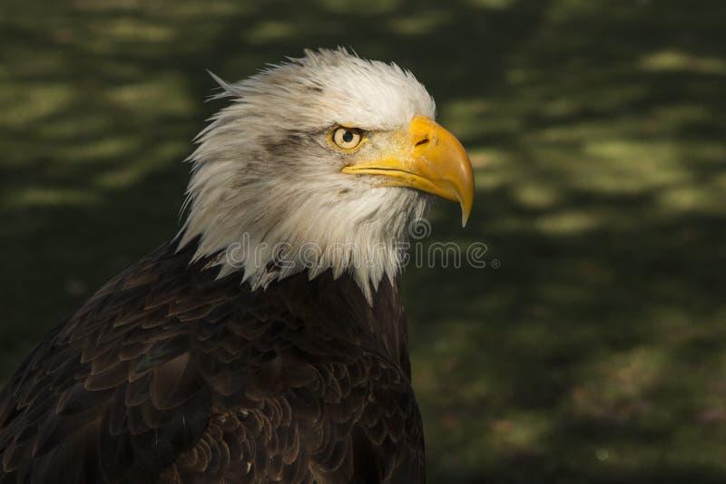 облыселый prey орла птицы Leucocephalus Haliaeetus стоковое фото
