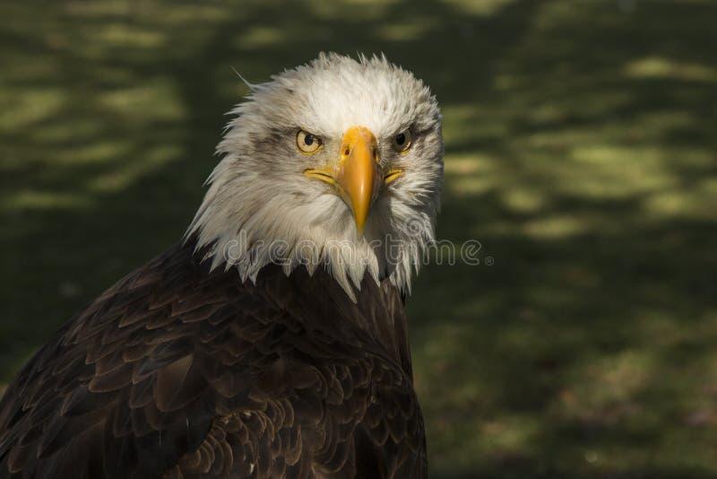 облыселый prey орла птицы Leucocephalus Haliaeetus стоковое фото rf