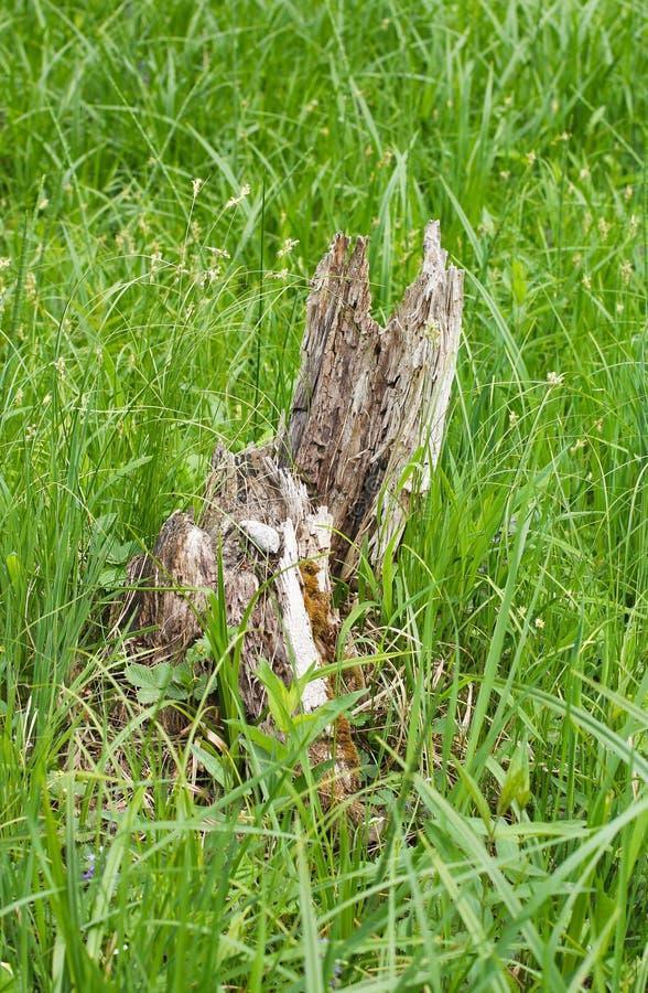Обмылок гнить дерева стоковая фотография rf