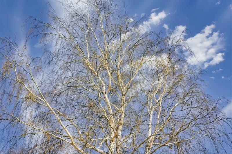 Обнаженные ветви березы на фоне голубого весеннего неба и белых облаков стоковые изображения