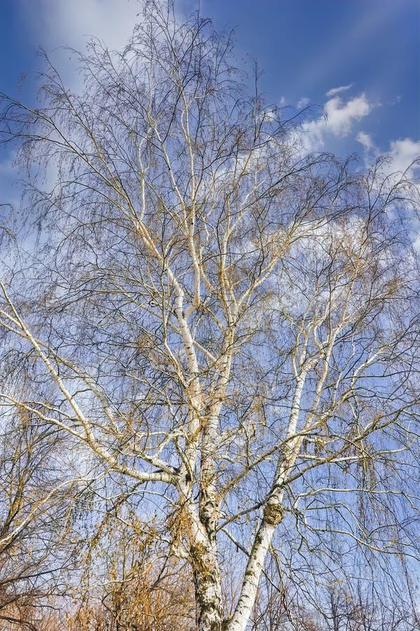 Обнаженные ветви березы на фоне голубого весеннего неба и белых облаков стоковая фотография rf