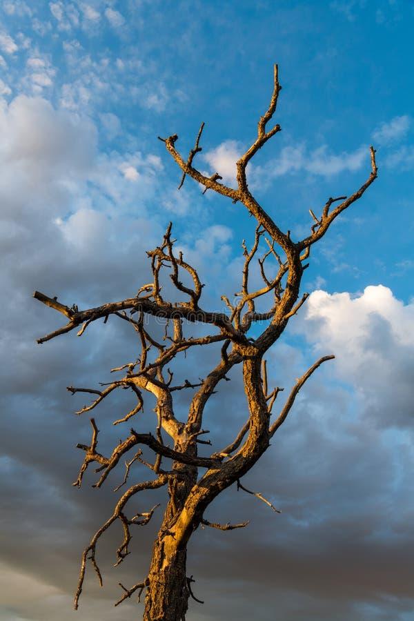 Обнаженные ветви мертвого дерева сравненного против красивого неба драматических облаков на заходе солнца стоковые фото