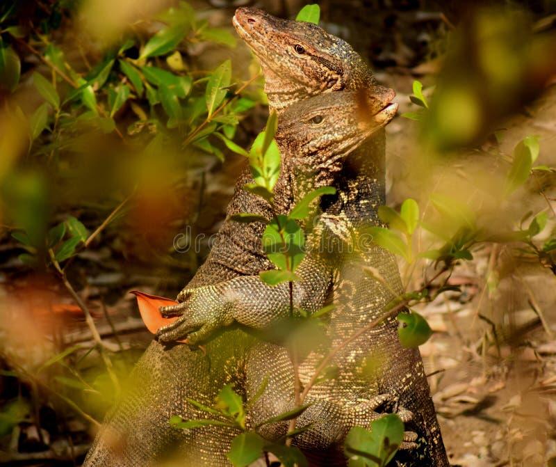 Обнимать 2 ящериц монитора воды Бенгалии стоковое изображение rf
